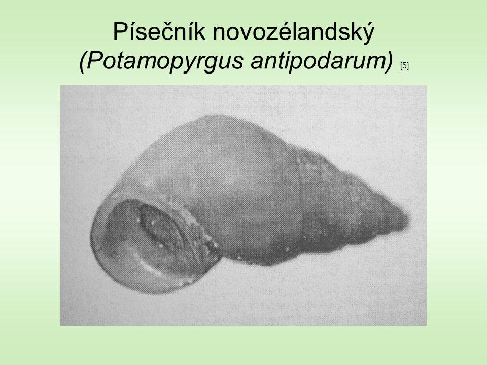 Písečník novozélandský (Potamopyrgus antipodarum) [5]